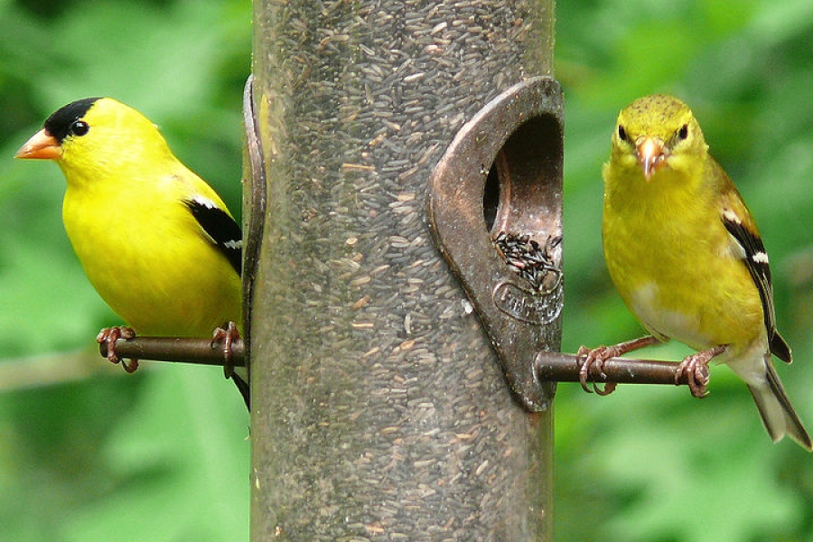 A pair of American goldfinches on a birdfeeder