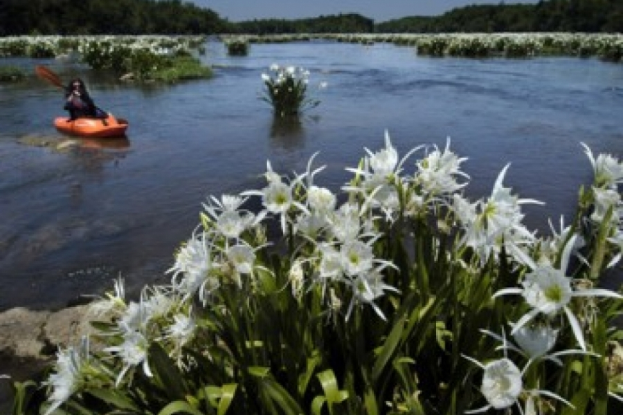 At Landsford Canal State Park, rare Rocky Shoals Spider Lilies appear each spring amid rocks in the Catawba River.