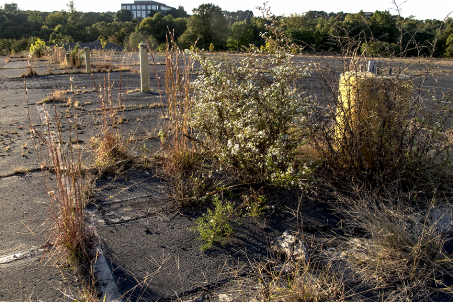 Aster and bluestem in what might become, in centuries, a new Piedmont prairie. Photo: Meredith Hebden