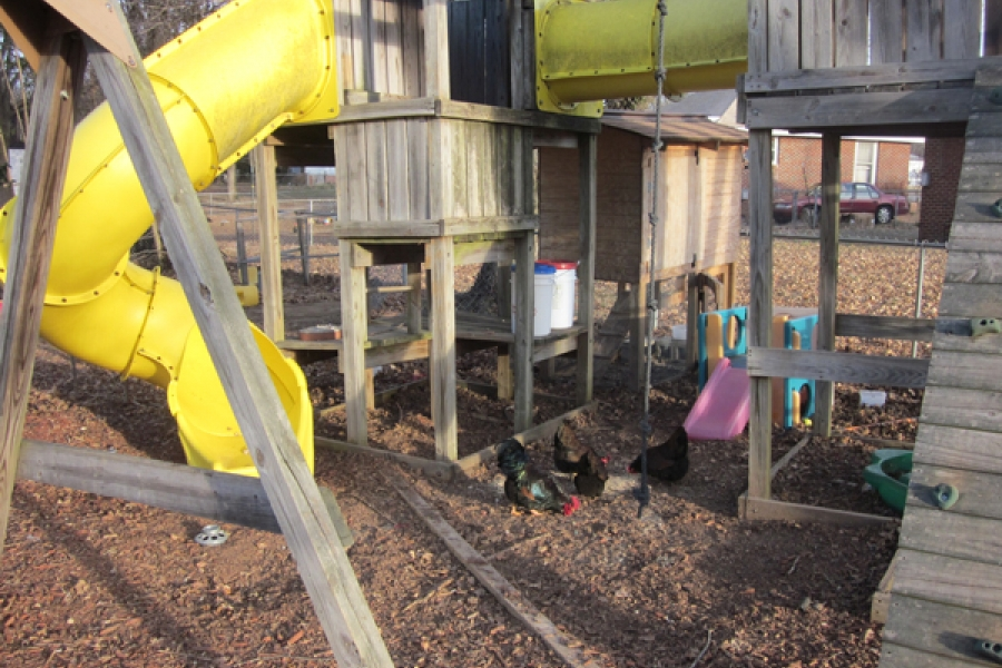 Integrated coop/jungle gym in backyard.  Designed for easy access to eggs.