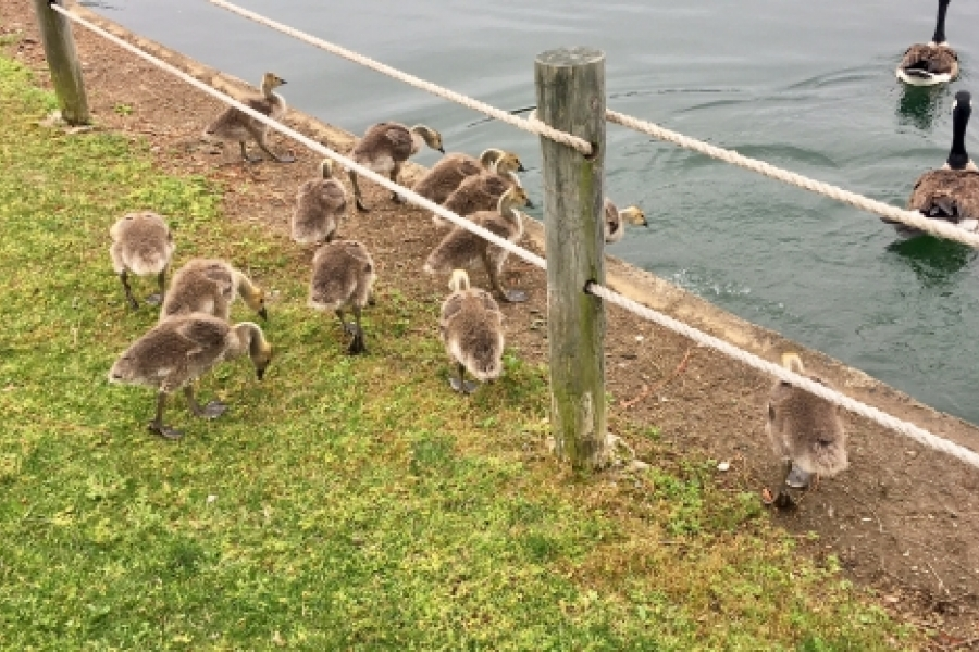 The May 13 tour of University City startled this gaggle of goslings, who escaped into the University Place lake. Walk leader Tobe Holmes described ongoing development as well as plans for the area when the Blue Line Extension light rail opens in March 2018. Photo: Mary Newsom