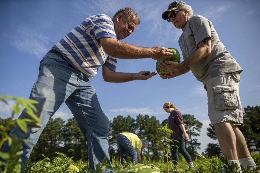 God's Garden farm manager David Clark harvests watermelons with volunteers at the July 2019 watermelon harvest in Candor, NC. Annually, God's Garden grows nearly 70,000 lbs of produce on an average of 8 acres in Richmond and Montgomery Counties.  All produce is donated to the Sandhills Food Bank and other area food pantries in order to increase access to fresh, local produce for families experiencing food insecurity. Photo courtesy Resourceful Communities/The Conservation Fund