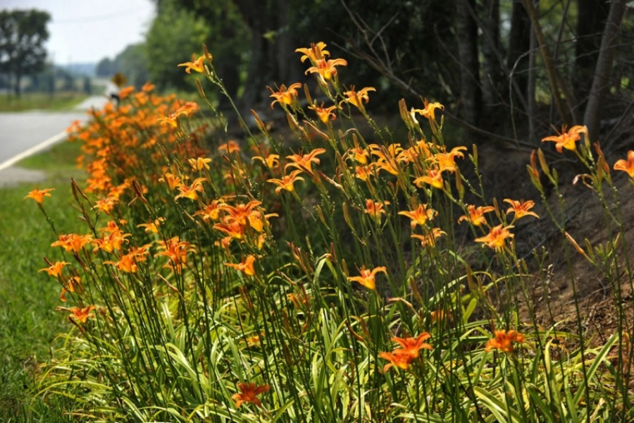 Daylilies grow wild, brightening a Lincoln County highway.