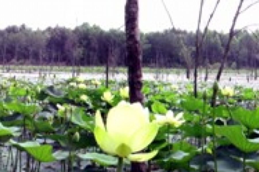 Honorable mention, by Ron Bryant  Panorama of American Lotus at a pond in Stanly County. Photo: Ron Bryant