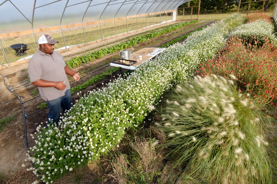 Davon Goodwin, manager of Sandhills AGInnovation Center in Ellerbee, inspecting plants. Photo: Nancy Pierce
