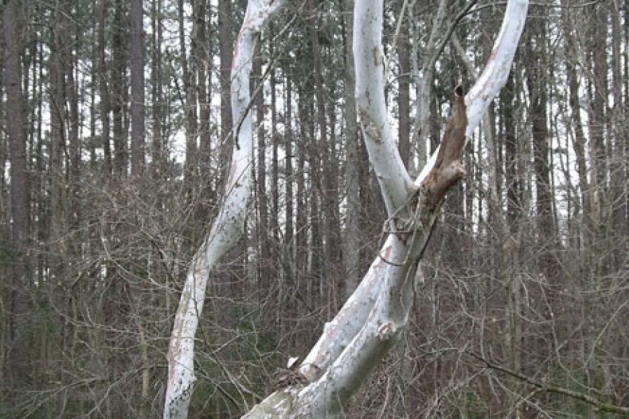 Sycamore along the Uwharrie River.  Photo by Ruth Ann Grissom