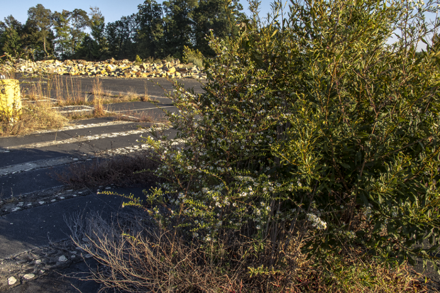 Late-flowering boneset flourishing in asphalt debris. Photo: Meredith Hebden