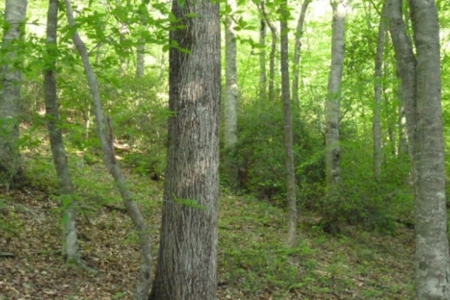Hickory among beech and mountain laurel
