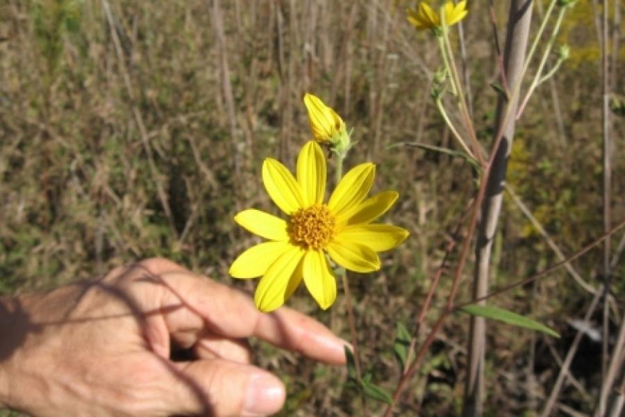 Schweinitz Sunflower