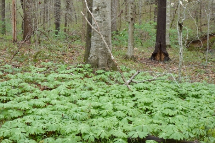 Beech and mayapples