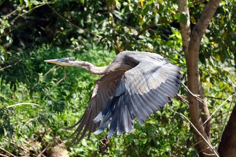 A heron on the South Fork River.