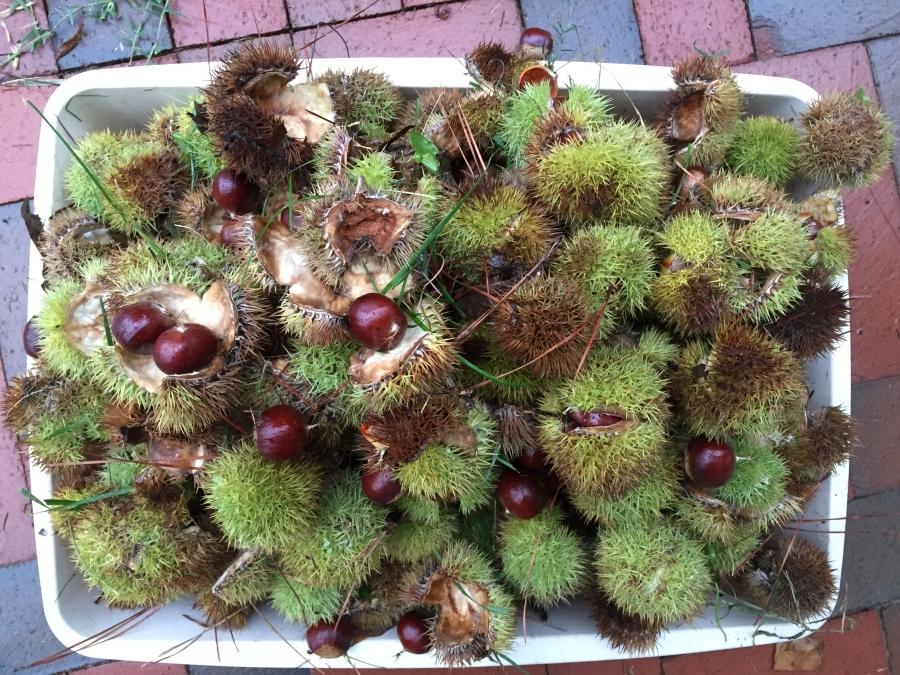 Harvested chestnuts, awaiting processing. Photo: Nancy Pierce