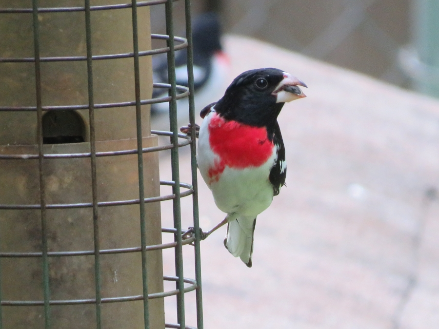 A red-breasted grosbeak. Photo: Crystal Cockman