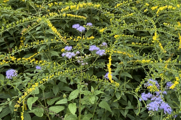 Goldenrod and blue mist flowers